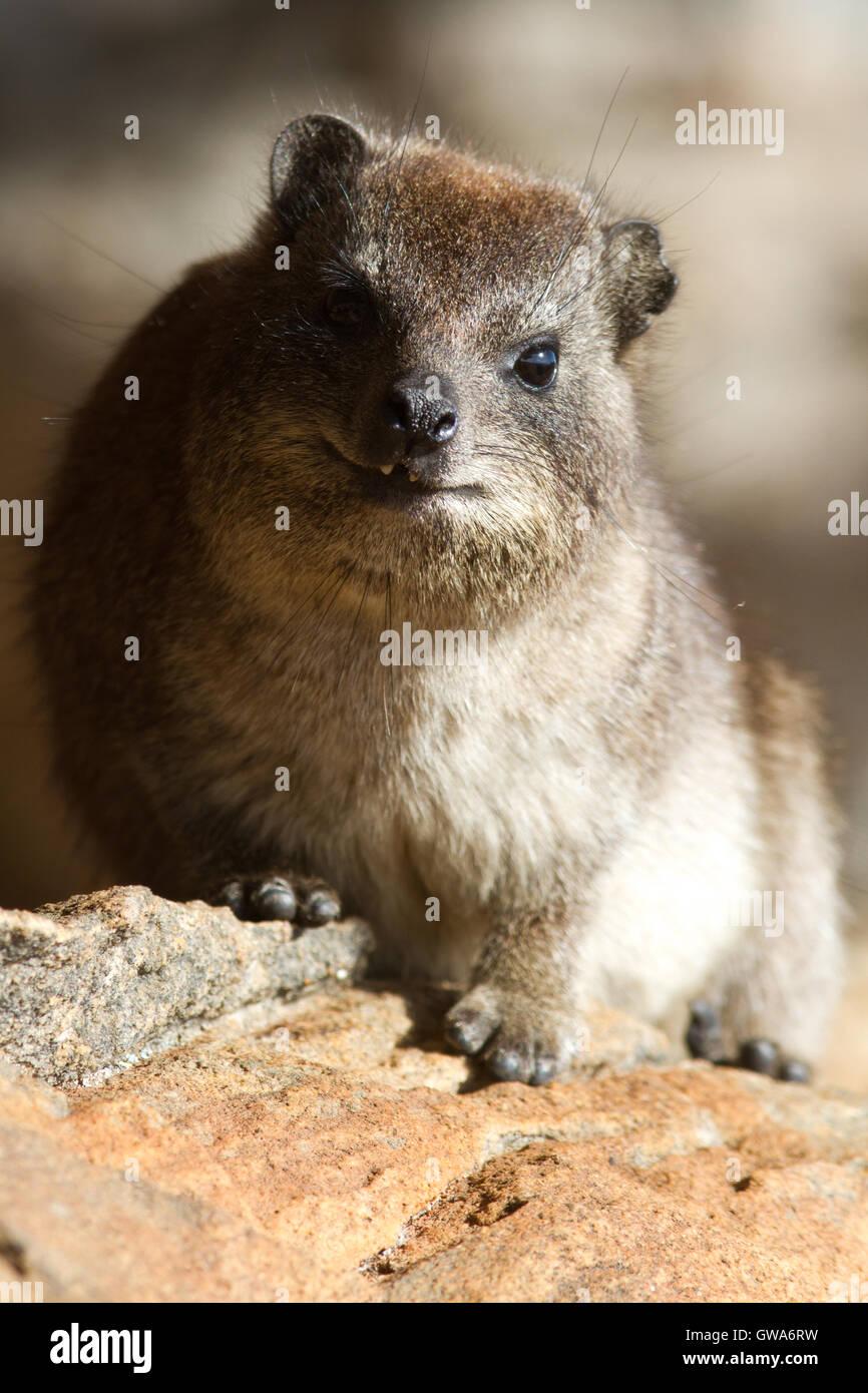 The dassie rat (Petromus typicus), South Africa - Stock Image