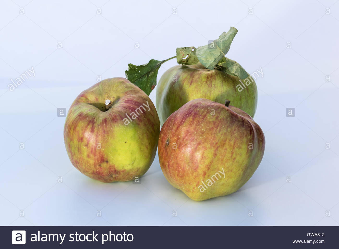 An arrangement of three Cornish Gilliflower apples on a white background first found in Truro in about 1800. - Stock Image