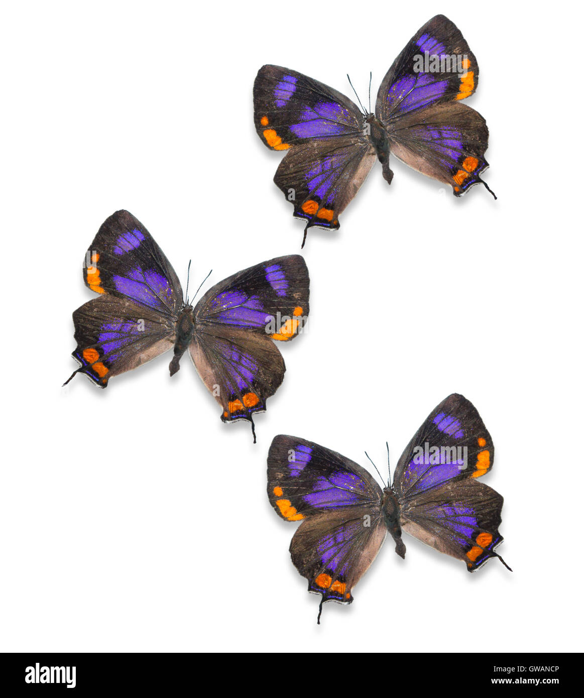 Pinned and spread cutout Colorado Hairstreak butterflies (Hypaurotis crysalus) on a white background - Stock Image
