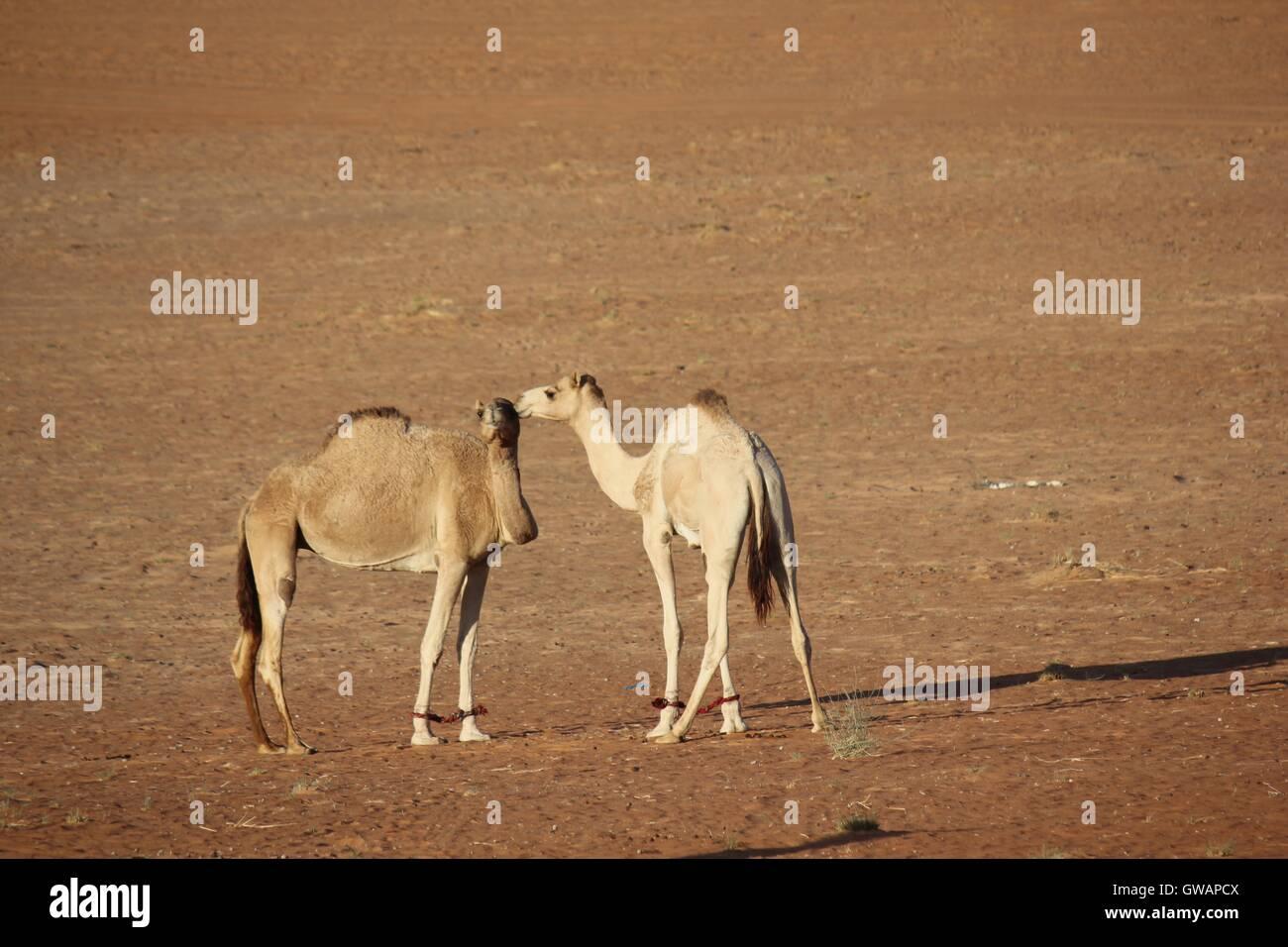 Camel in the desert. Image taken in Wahiba Sands desert, the main Omani desert. Stock Photo