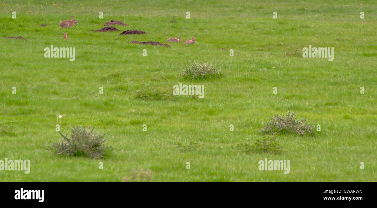 Hare and leveret - Stock Image