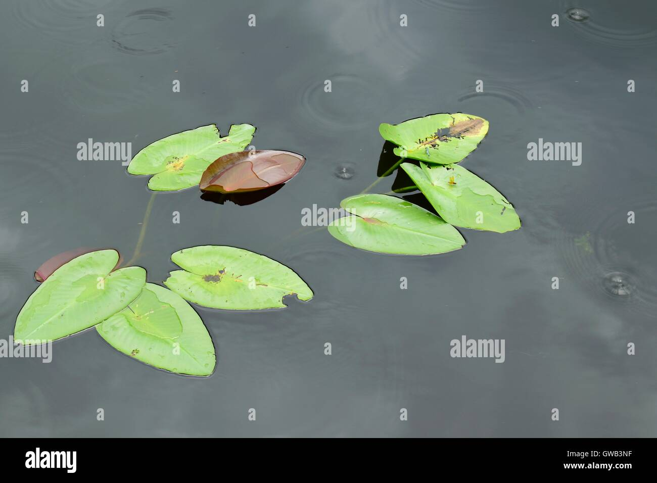 Dragonflies resting on leaves during the rain. - Stock Image