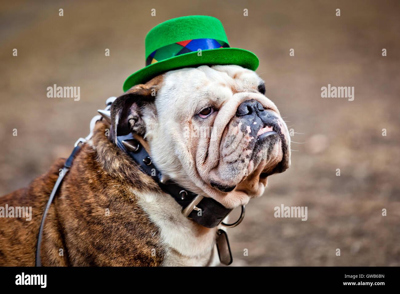 St Patrick's Day hat on English bulldog - Stock Image