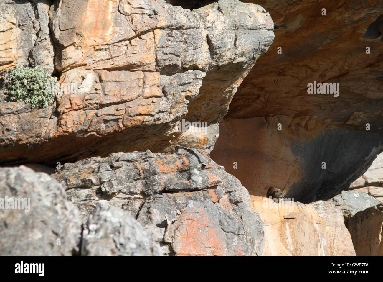 The dassie rat (Petromus typicus) in its habitat, South Africa - Stock Image
