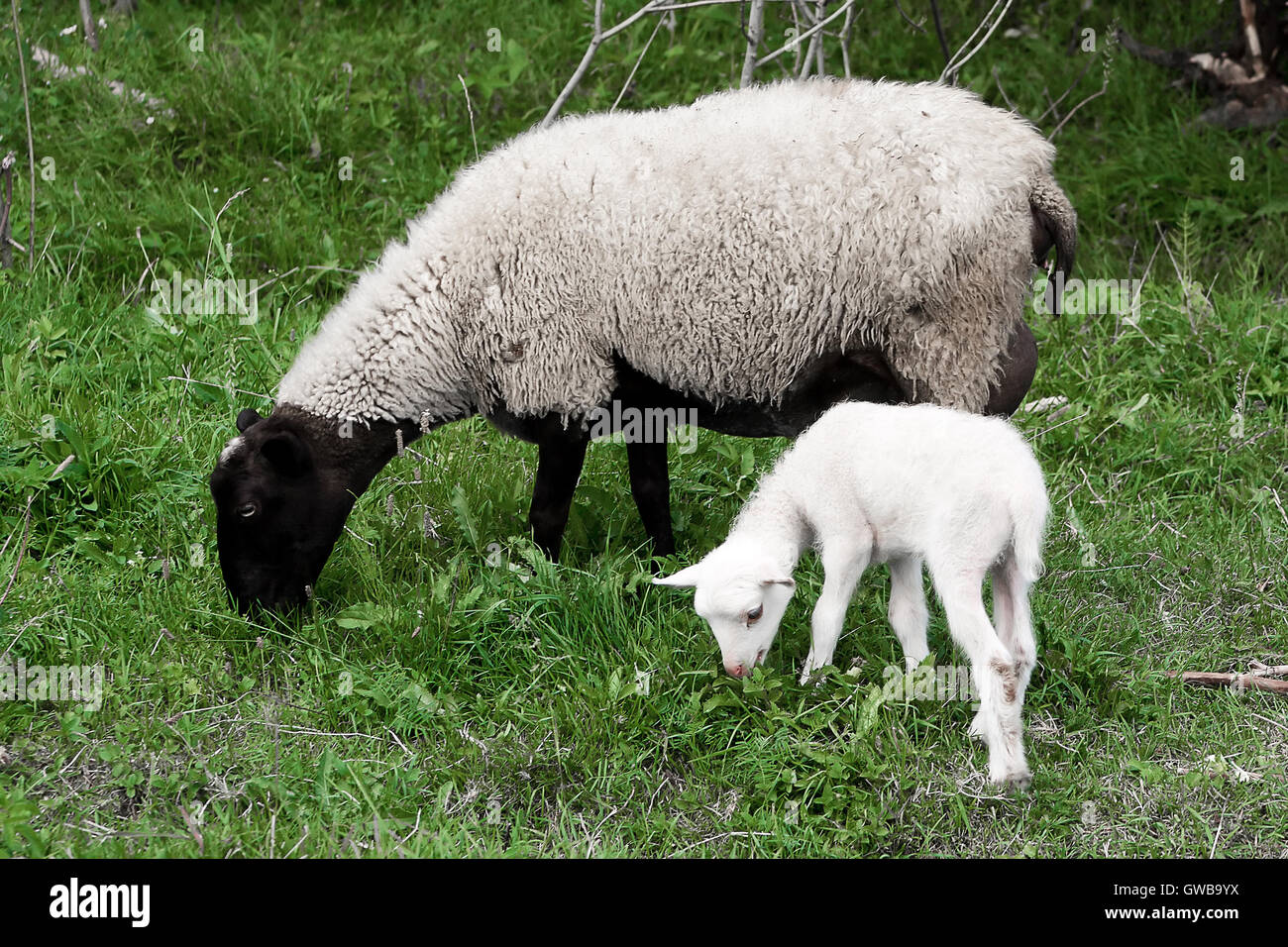 A sheep (ewe) and white lamb (yeanling, eanling, cade) pasturing on a meadow with green grass as a background. - Stock Image
