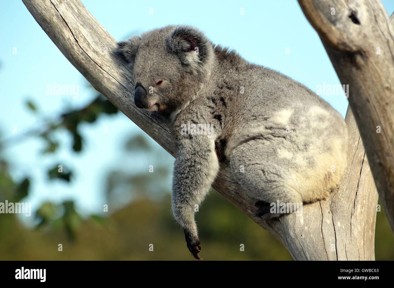 Australian Koala (Phascolarctos cinereus) sleeping in a gum tree. Australia's iconic marsupial mammal. Stock Photo