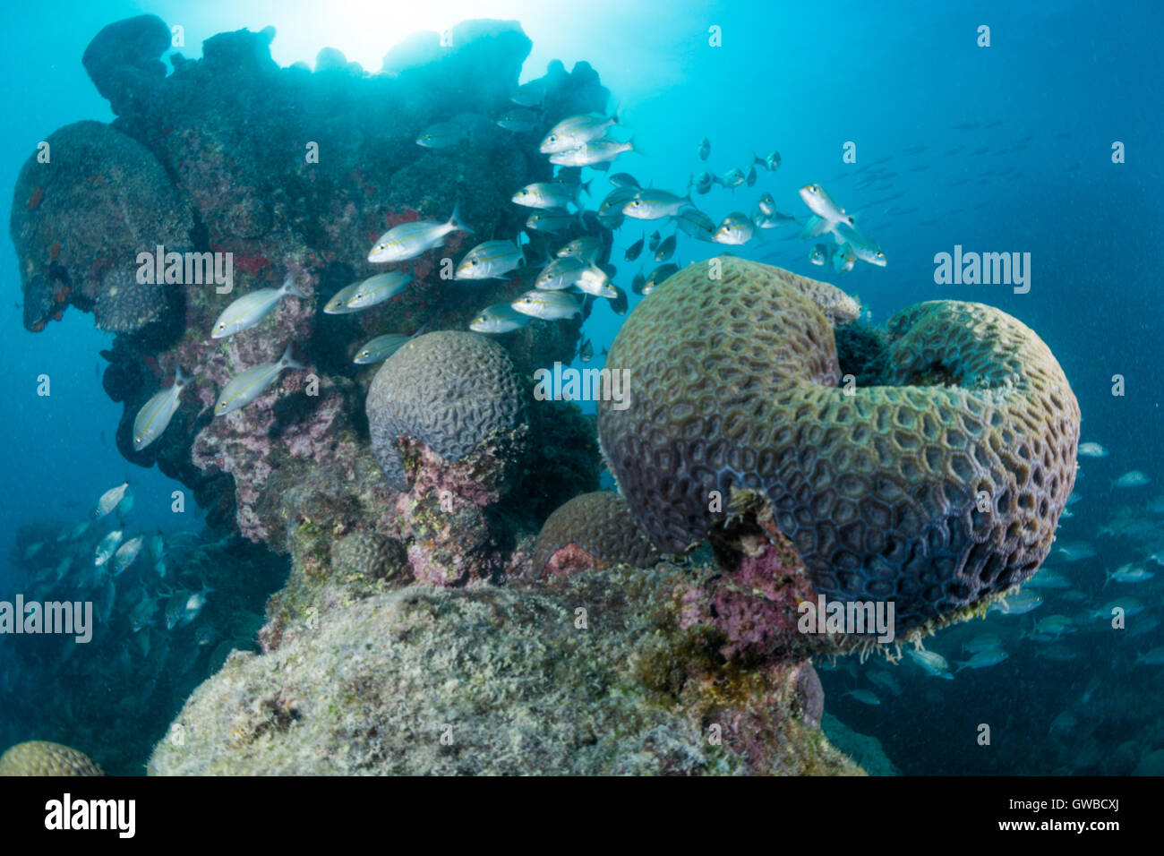 school of fish at coral reef in Abrolhos National Marine Park, Bahia state, Brazil - Stock Image