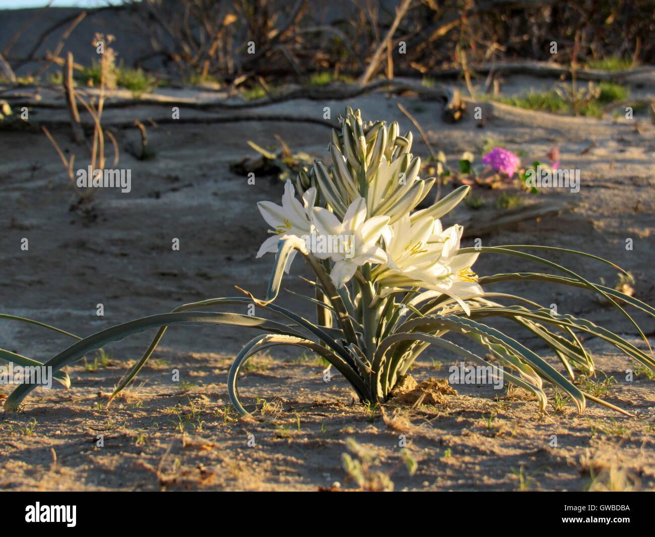White Desert Flowers Stock Photos White Desert Flowers Stock