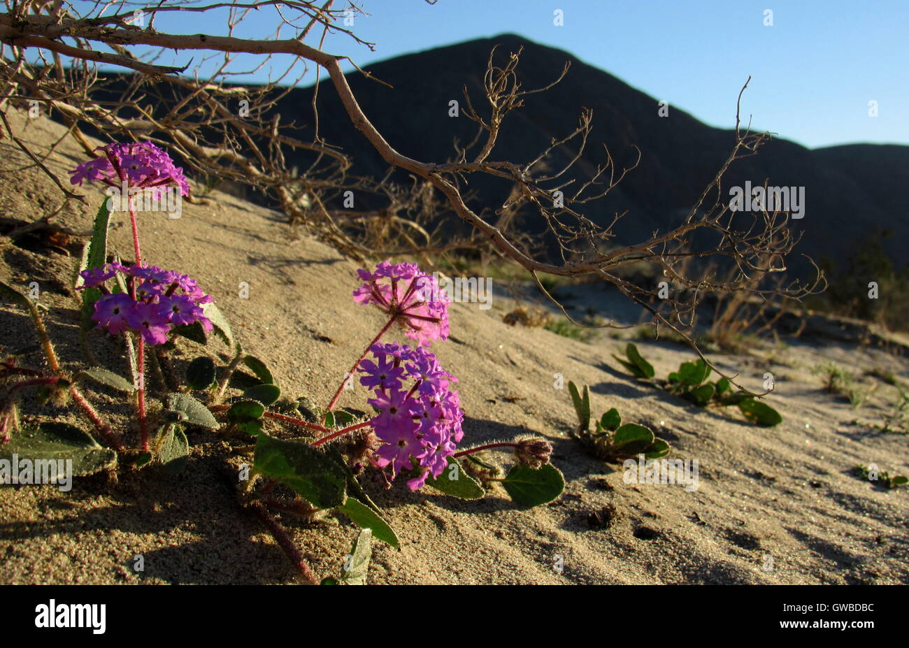 Desert Sand Pink and Purple Verbena wildflowers on a san dune in Anza Borrego Desert State Park California - Stock Image