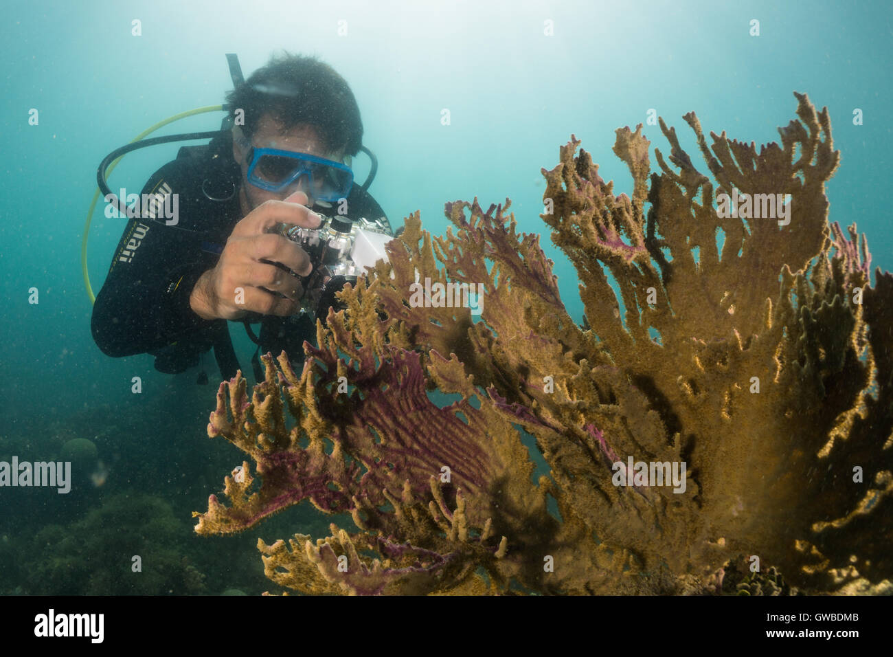 diver taking pictures of fire coral with digital camera. Abrolhos, Bahia, Brazil - Stock Image