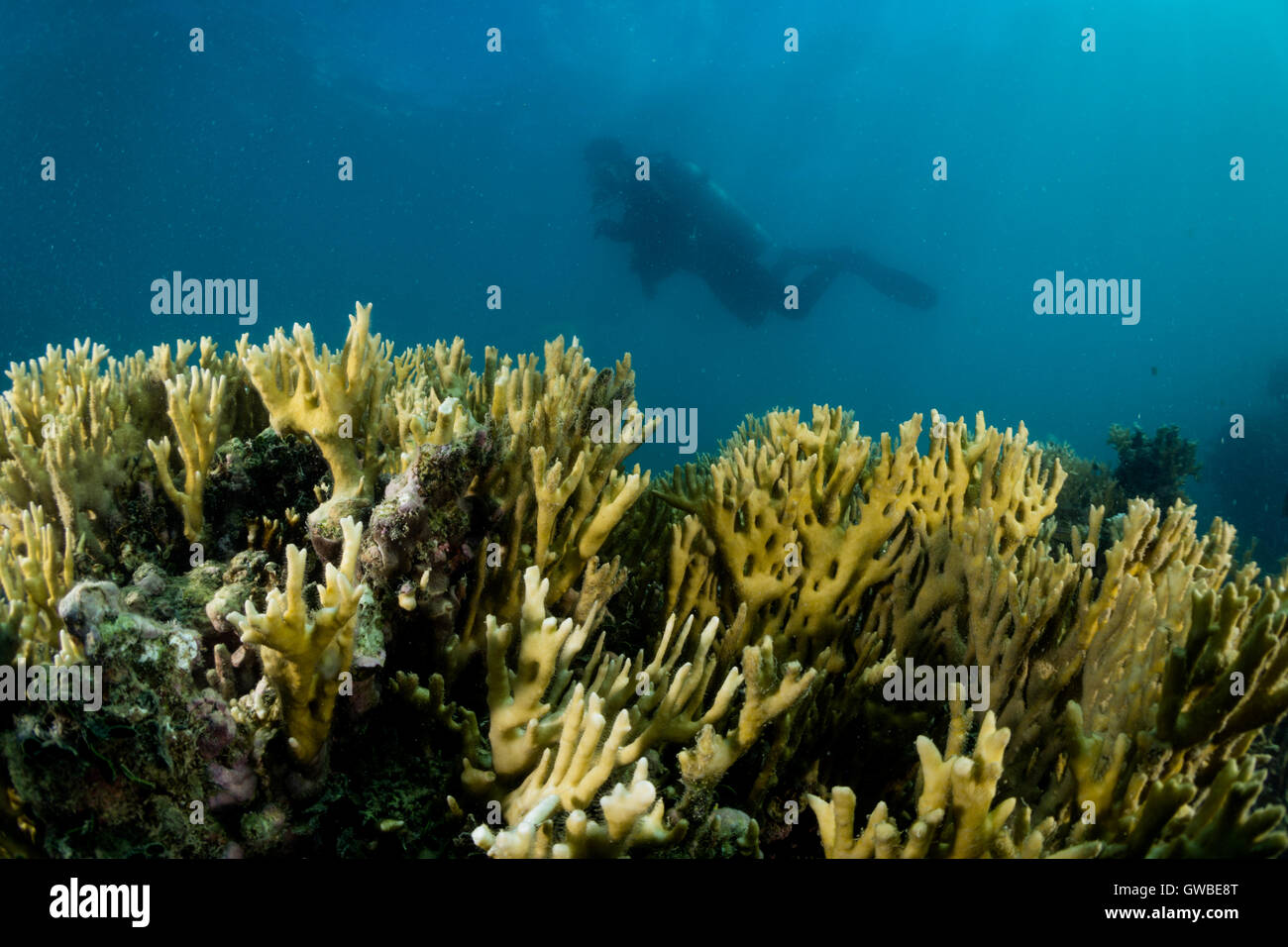 scuba diver close to coral reef, Abrolhos marine National Park, Bahia state, Brazil - Stock Image