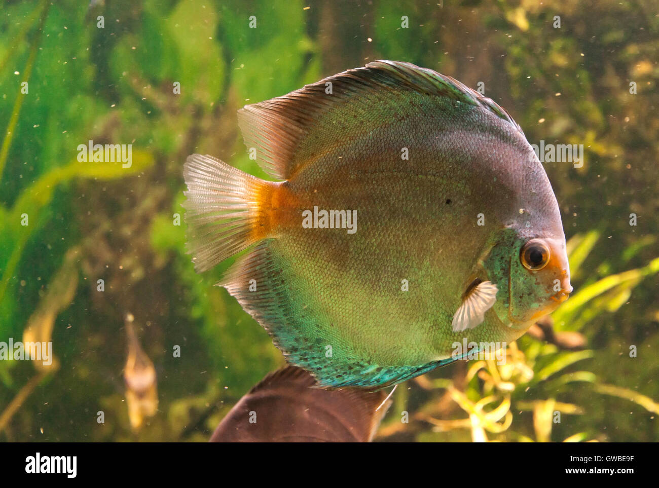 Morph Of Exotic Tropical Fish Swimming In Aquarium Can Be Used As A Wallpaper Or Postcard