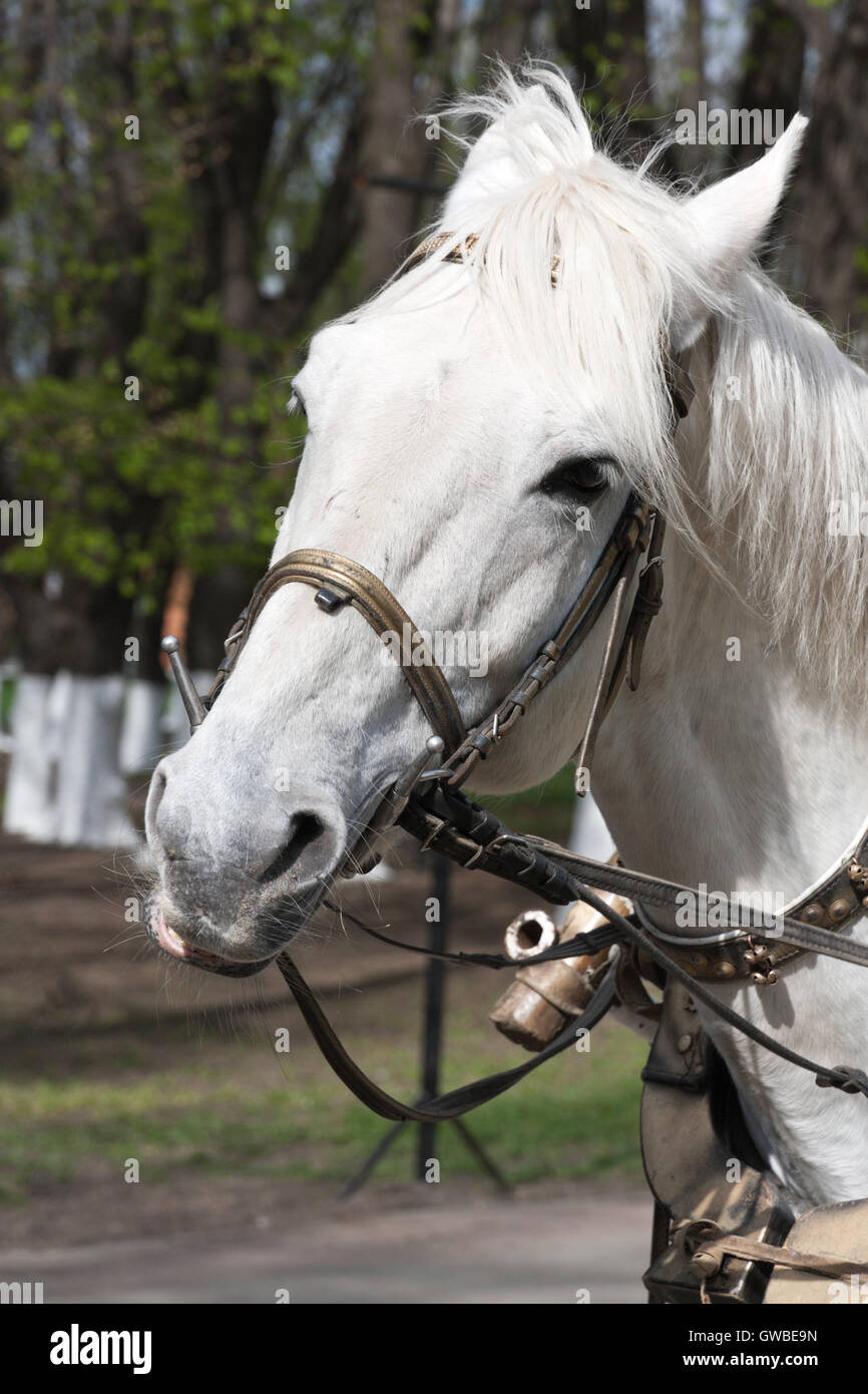 White Horse In Harness Data Wiring Delta Faucet T14038 Parts List And Diagram Ereplacementpartscom Portrait Of With Bridle Closeup Stock Photo Rh Alamy Com Clydesdale