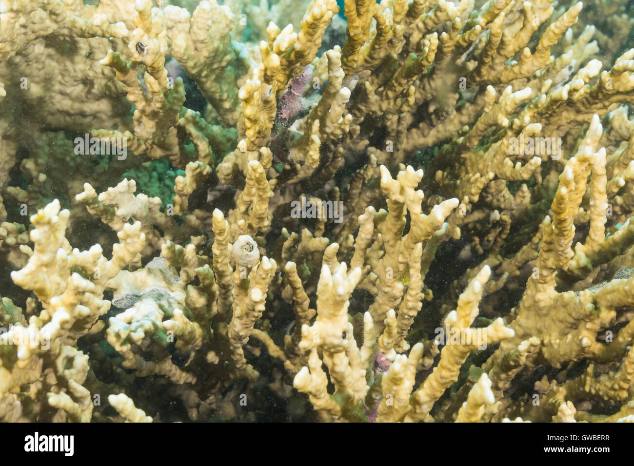 fire coral underwater Abrolhos, Bahia, Brazil - Stock Image