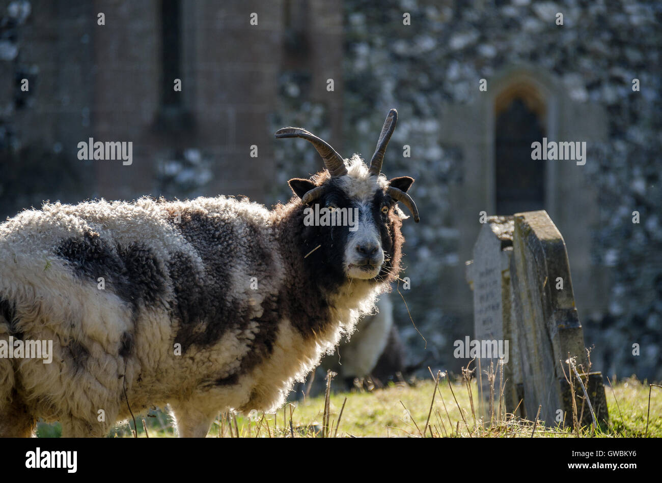 Goat Roaming In An Old Graveyard - Stock Image