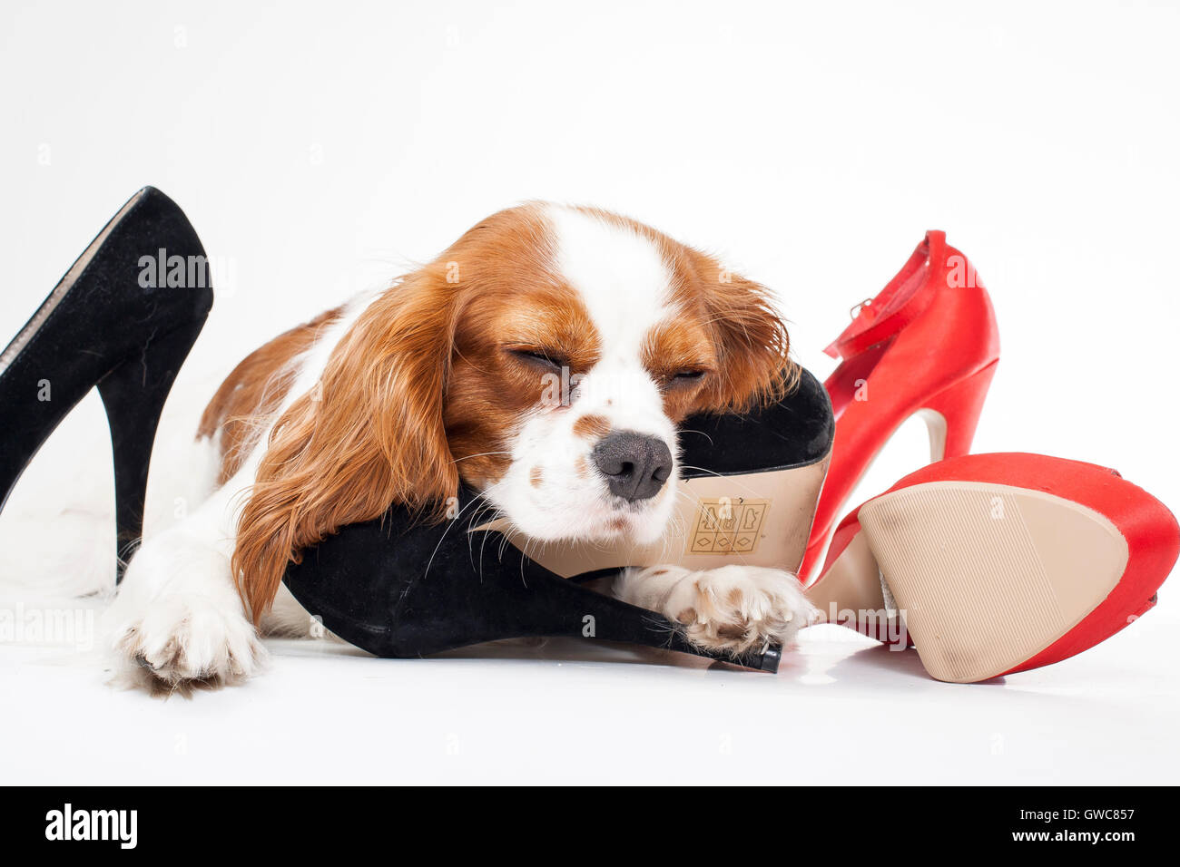 Trained cavalier king charles spaniel studio white background photography. Dog with high heels,dogs behavior chew - Stock Image