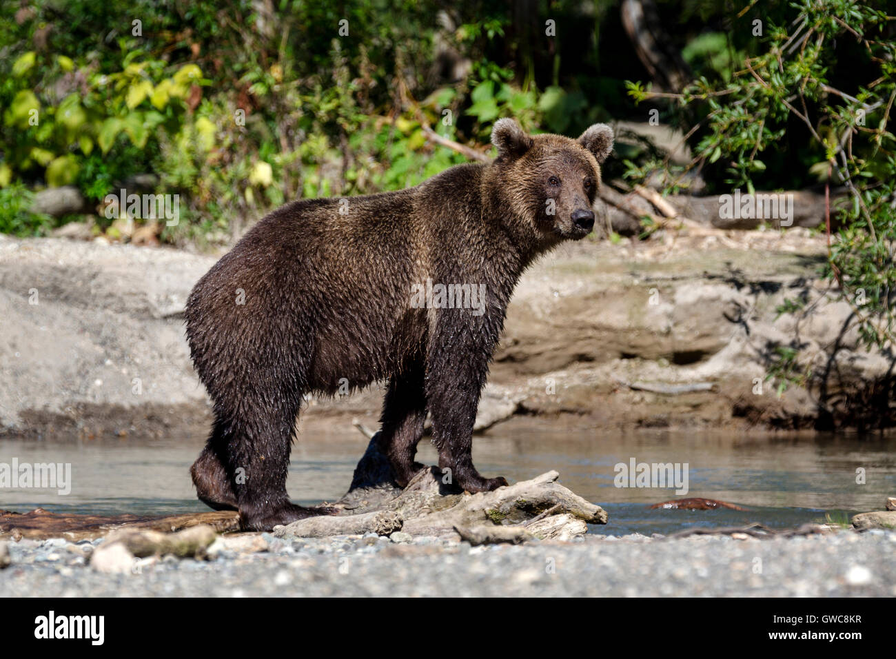 Brown bear catching fish in river near Kuril Lake of Southern Kamchatka Wildlife Refuge in Russia Stock Photo