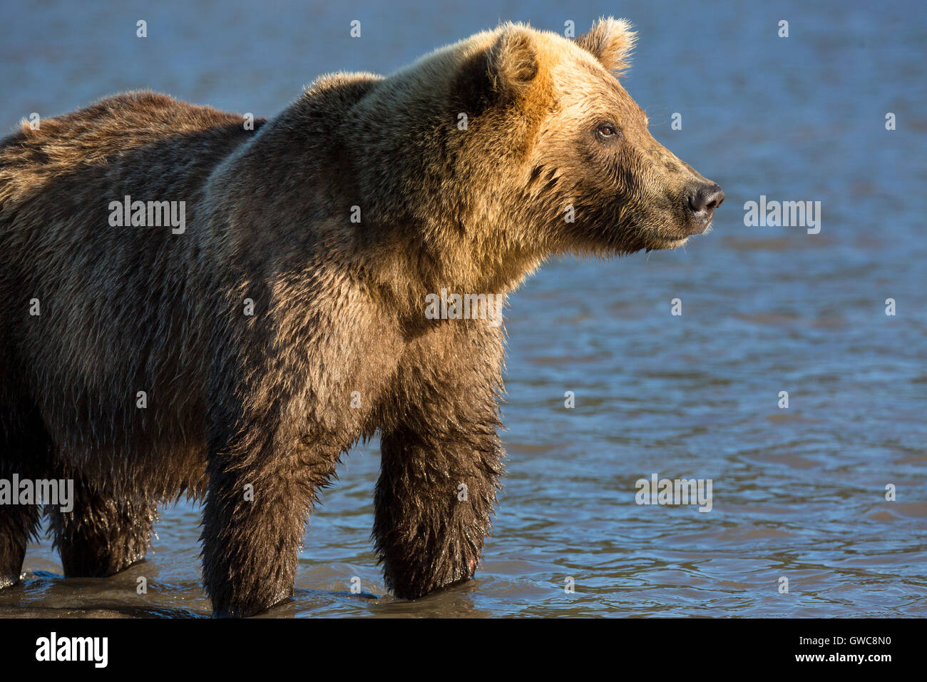 Brown bear catching fish in Kurile Lake of Southern Kamchatka Wildlife Refuge in Russia - Stock Image