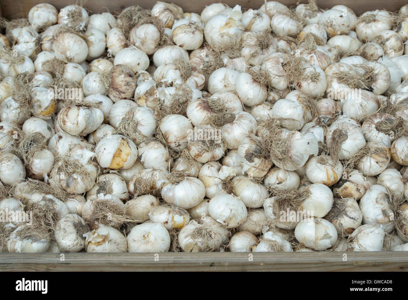 Allium hollandicum 'Purple Sensation'. Ornamental Onion flower bulbs in a wooden box Stock Photo