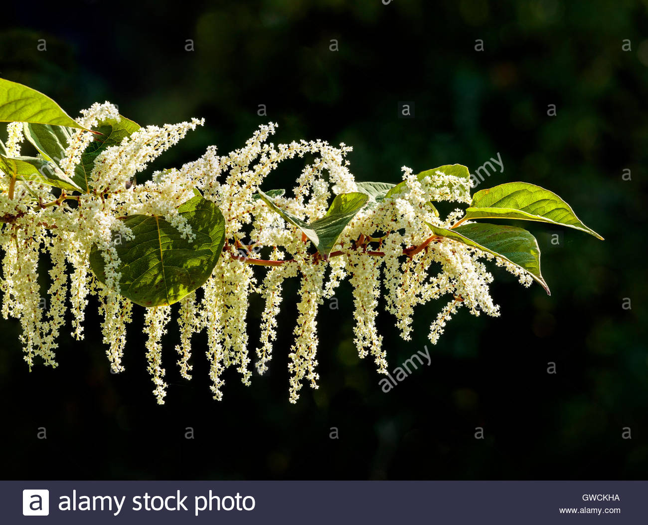 Fallopia japonica, Reynoutria japonica, Asian knotweed, Japanese knotweed, invasive, plant, Rouge National Urban - Stock Image
