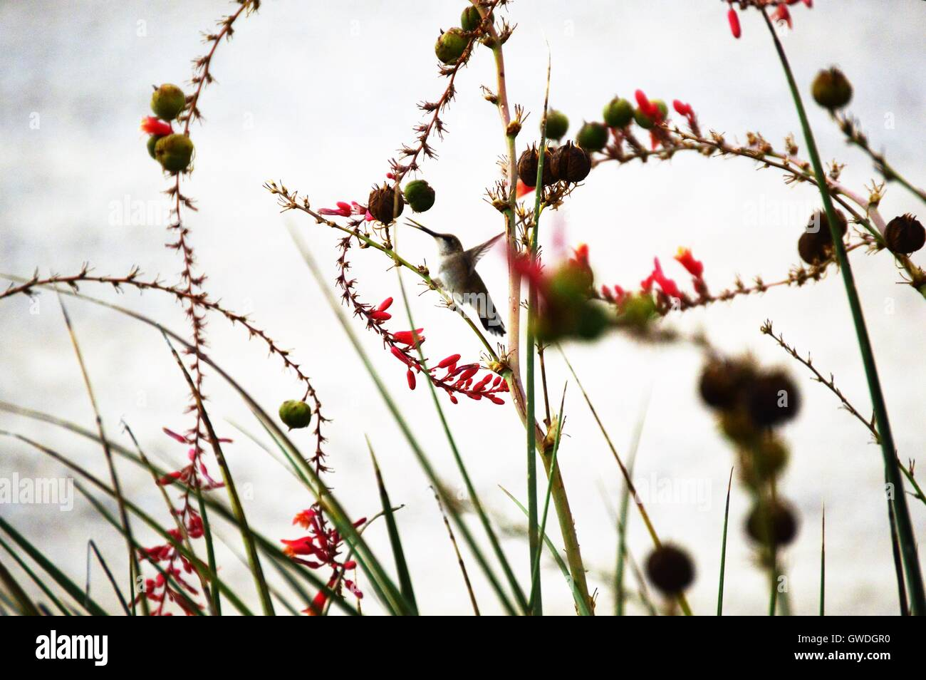 Hummingbird feeding on nectar. - Stock Image