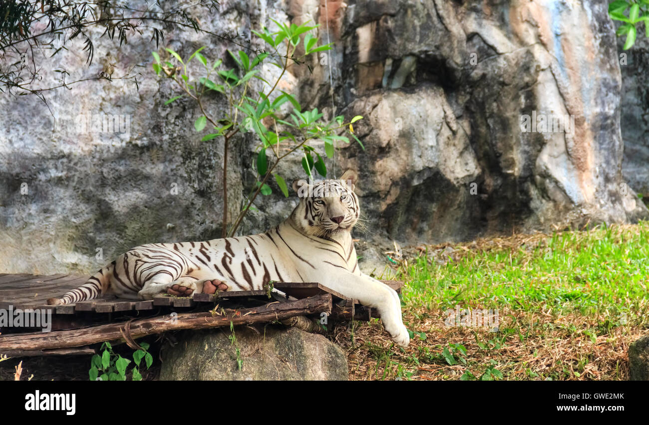 White tiger stripes on selected focus - Stock Image