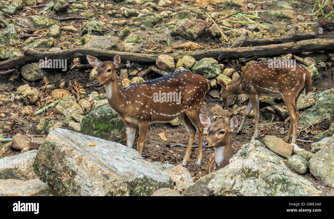 Golden Stags, deer or chital as a habitat in the forests of Sri Lanka, Nepal, Bangladesh, Bhutan, India, and a small - Stock Image