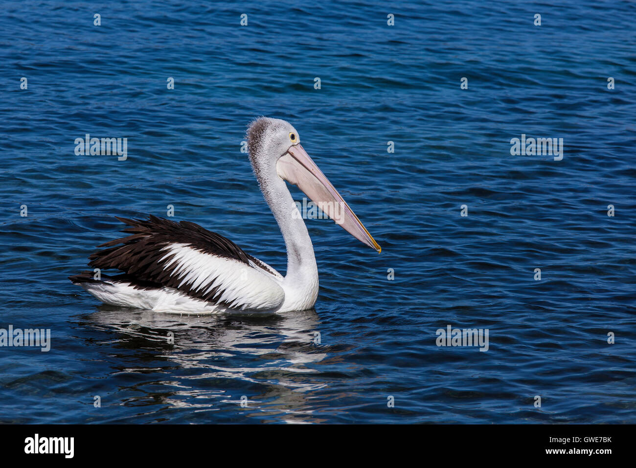 Australian Pelican looking for a feed at Narooma - Stock Image