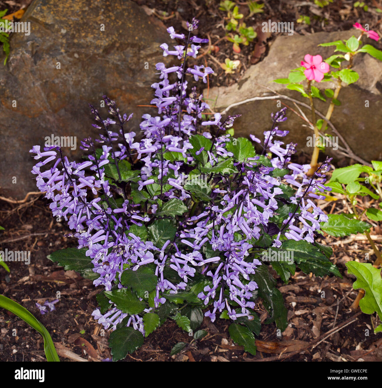 Cluster Of Spikes Of Bright Purple Flowers Dark Green Leaves Of