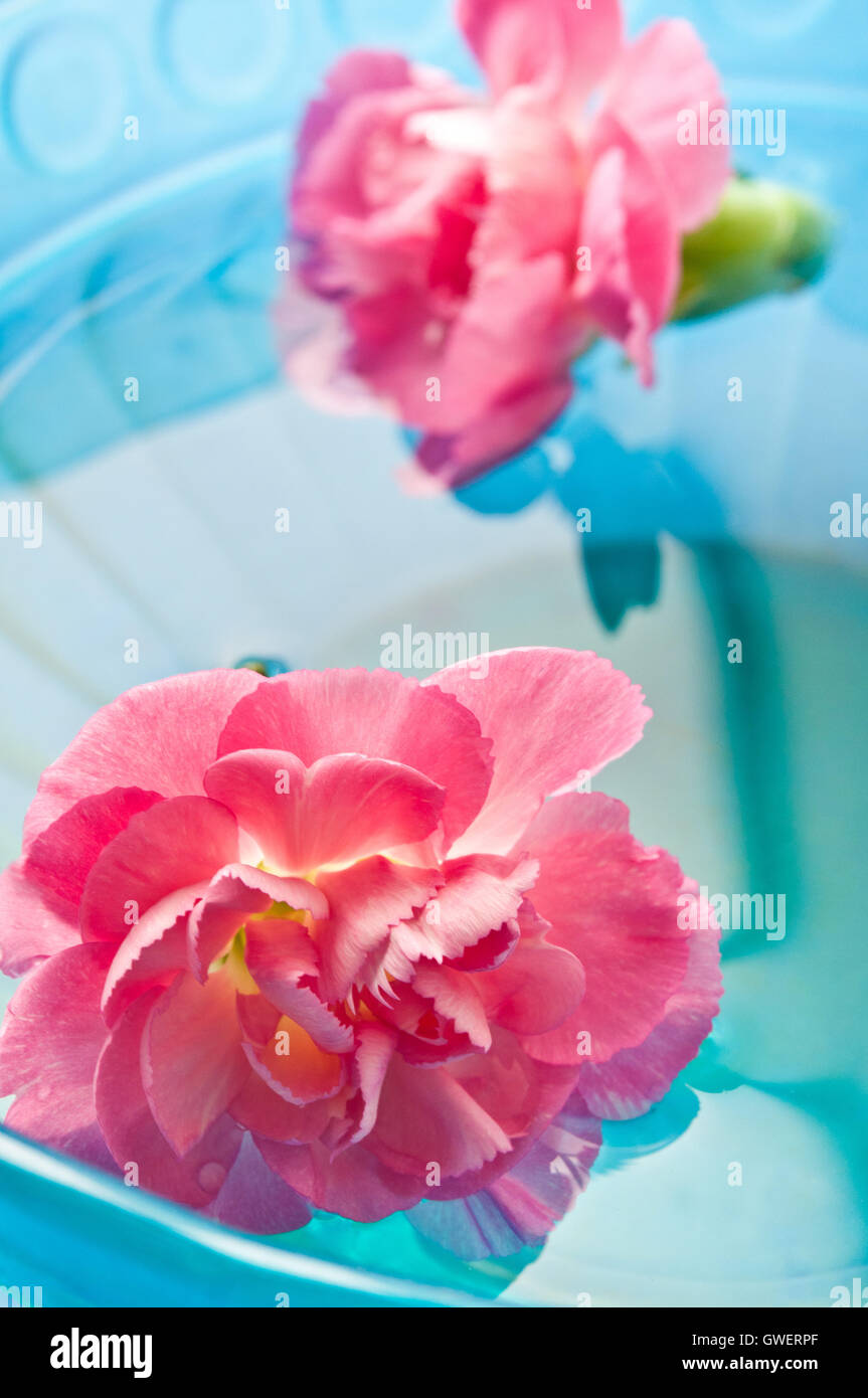 pink Carnation flowers in water, meditation and mindfulness - Stock Image