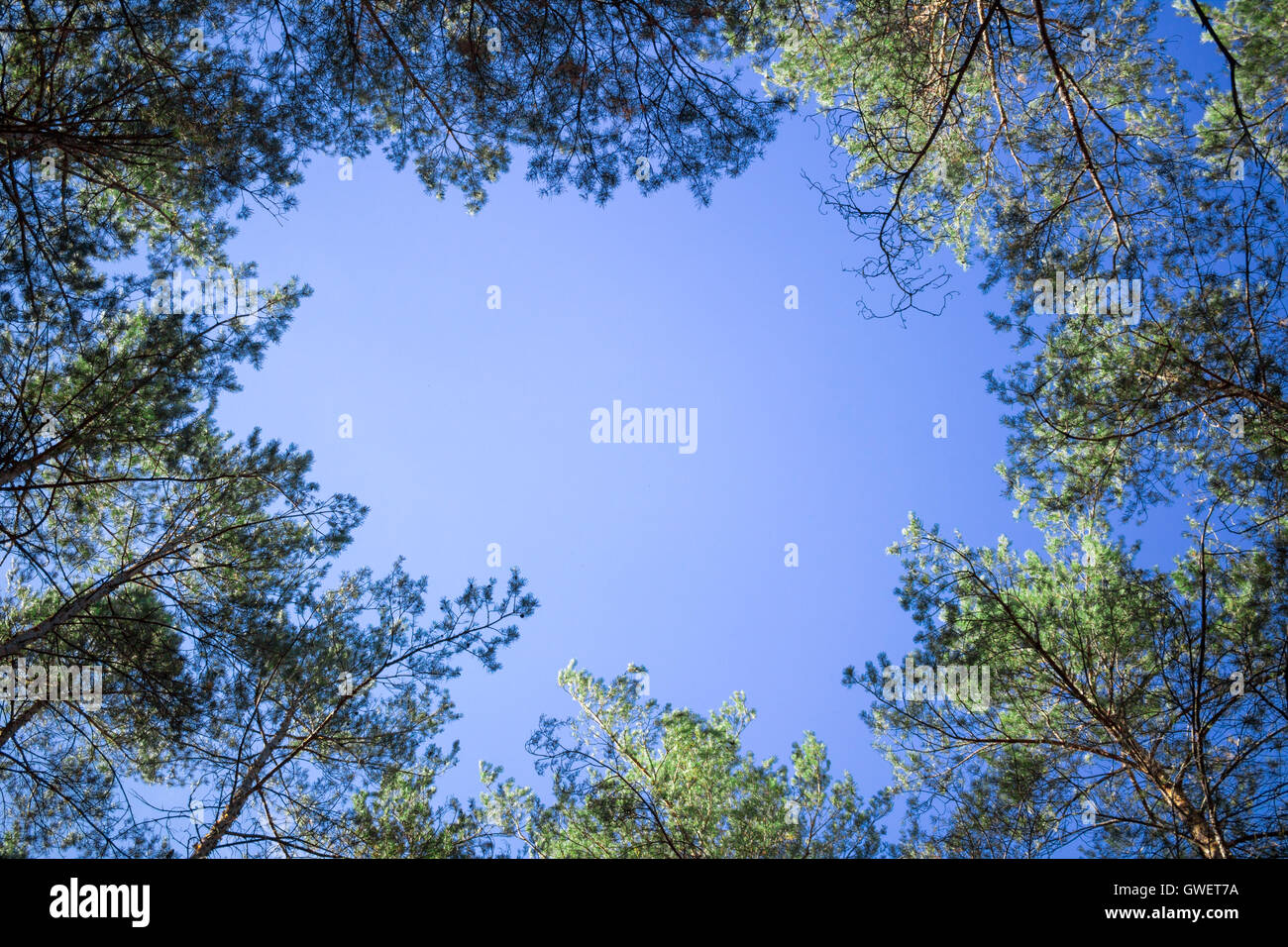 Nature background of contifer trees tops look-up to blue sky - Stock Image