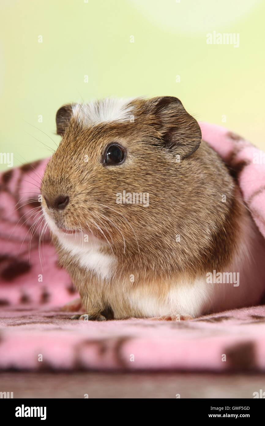 crested guinea pig Stock Photo