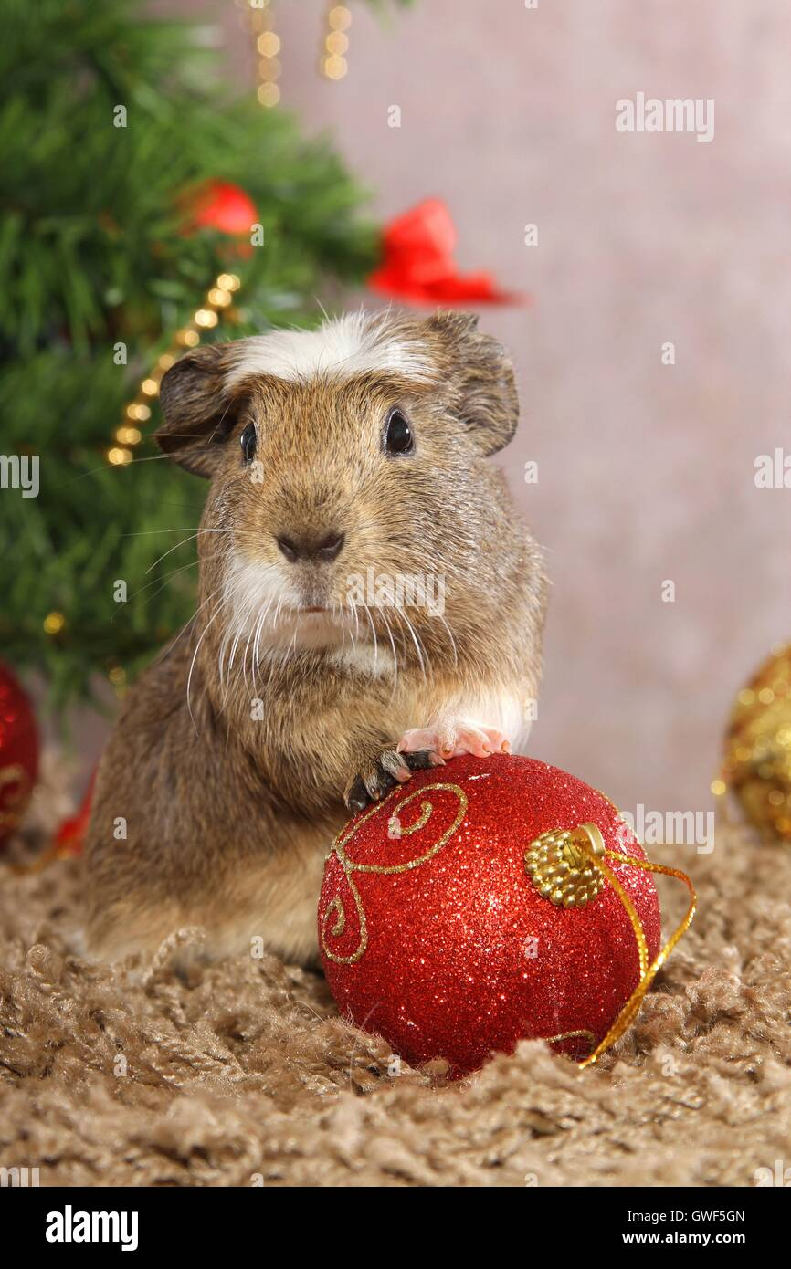 crested guinea pig - Stock Image