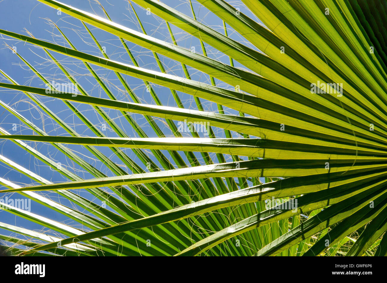 Abstract closeup of green radiating foliage of a tropical fan palm plant in Western Australia with a blue sky background. - Stock Image