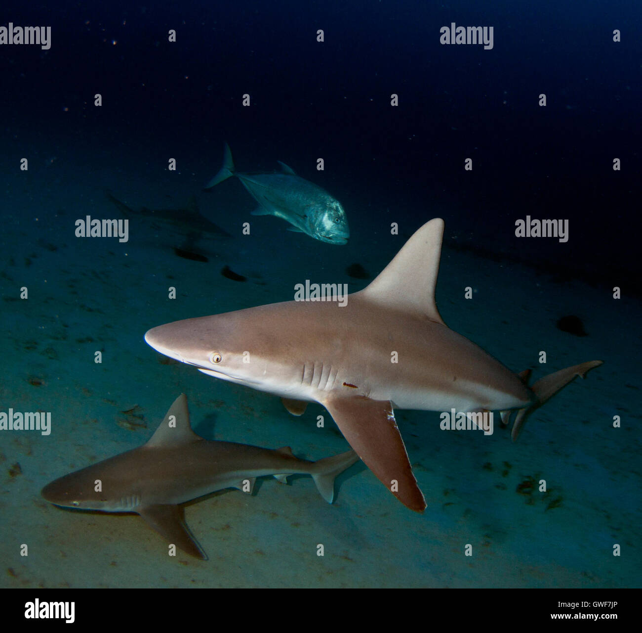 A Sandbar shark swims buzzes by one night offshore from the Big Island, Hawaii. - Stock Image