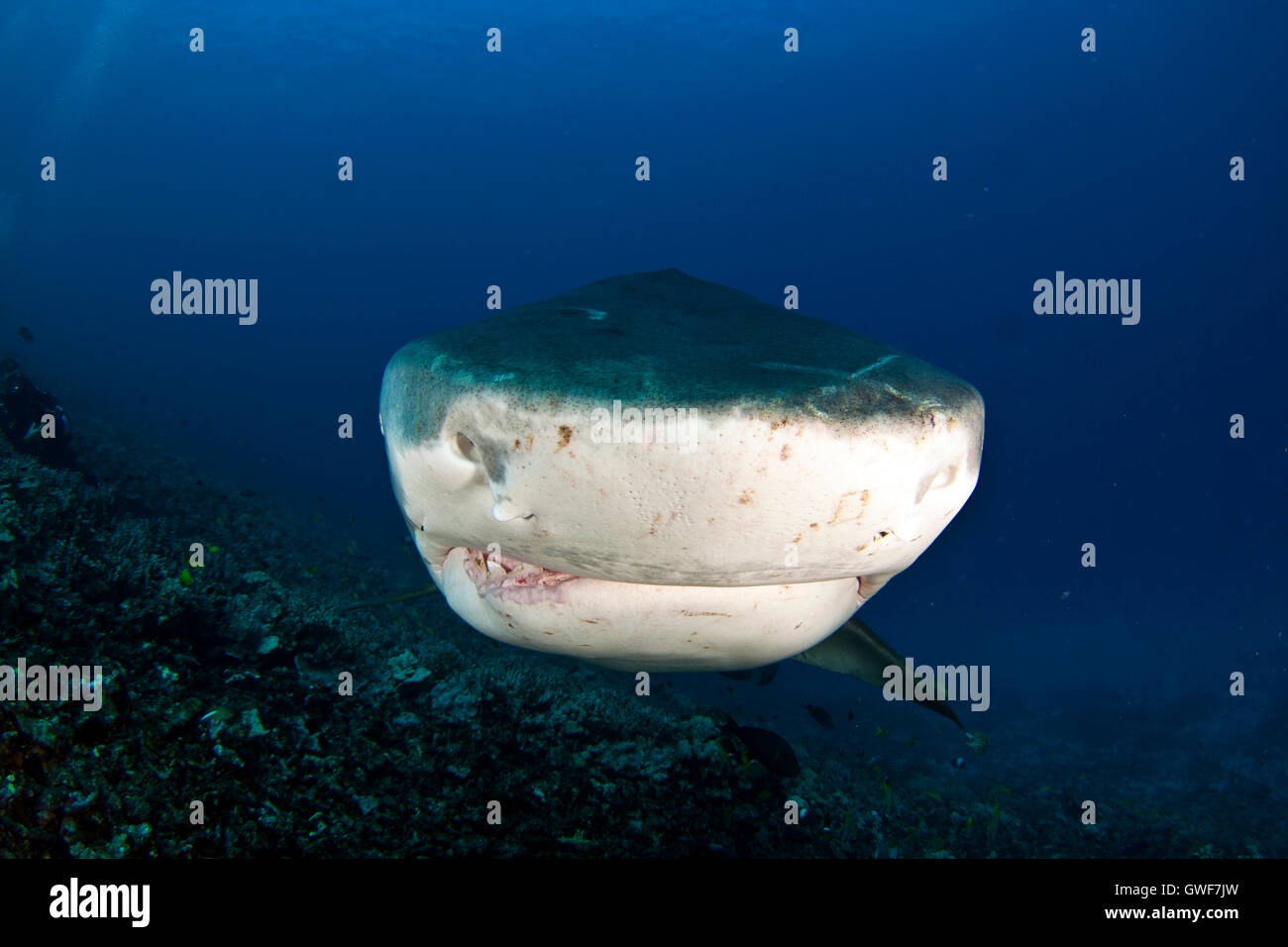 A tiger shark swims over the reef at Kona, Hawaii - Stock Image