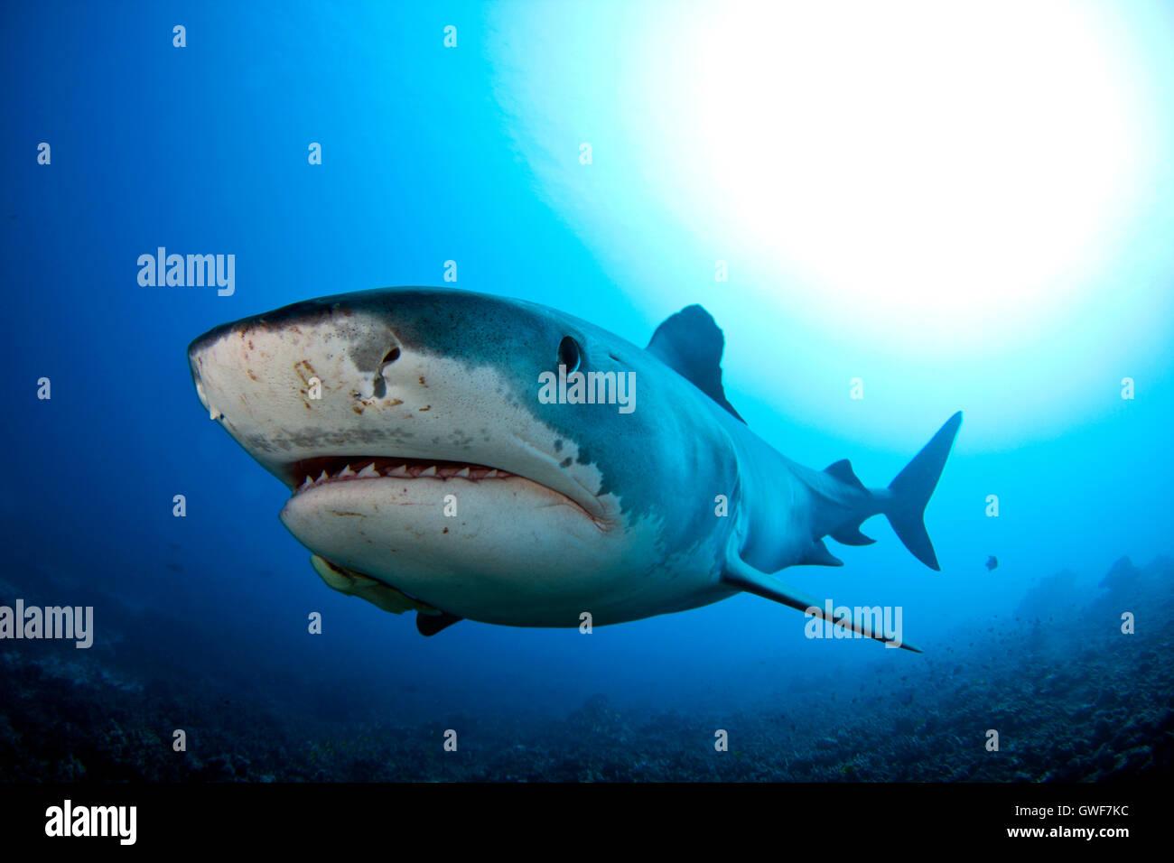 A tiger shark swims over the reef at Kona, Hawaii - Stock Image
