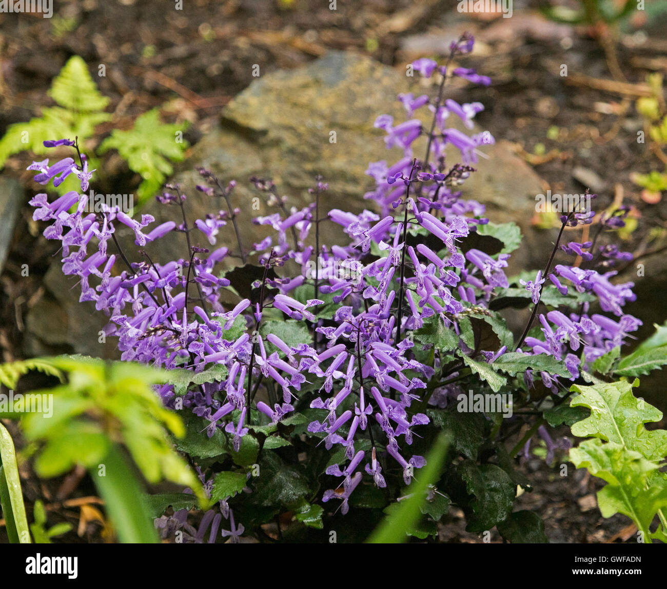 Cluster of spikes of bright purple flowers dark green leaves of cluster of spikes of bright purple flowers dark green leaves of perennialgarden plant plectranthus plepalila mona lavender mightylinksfo