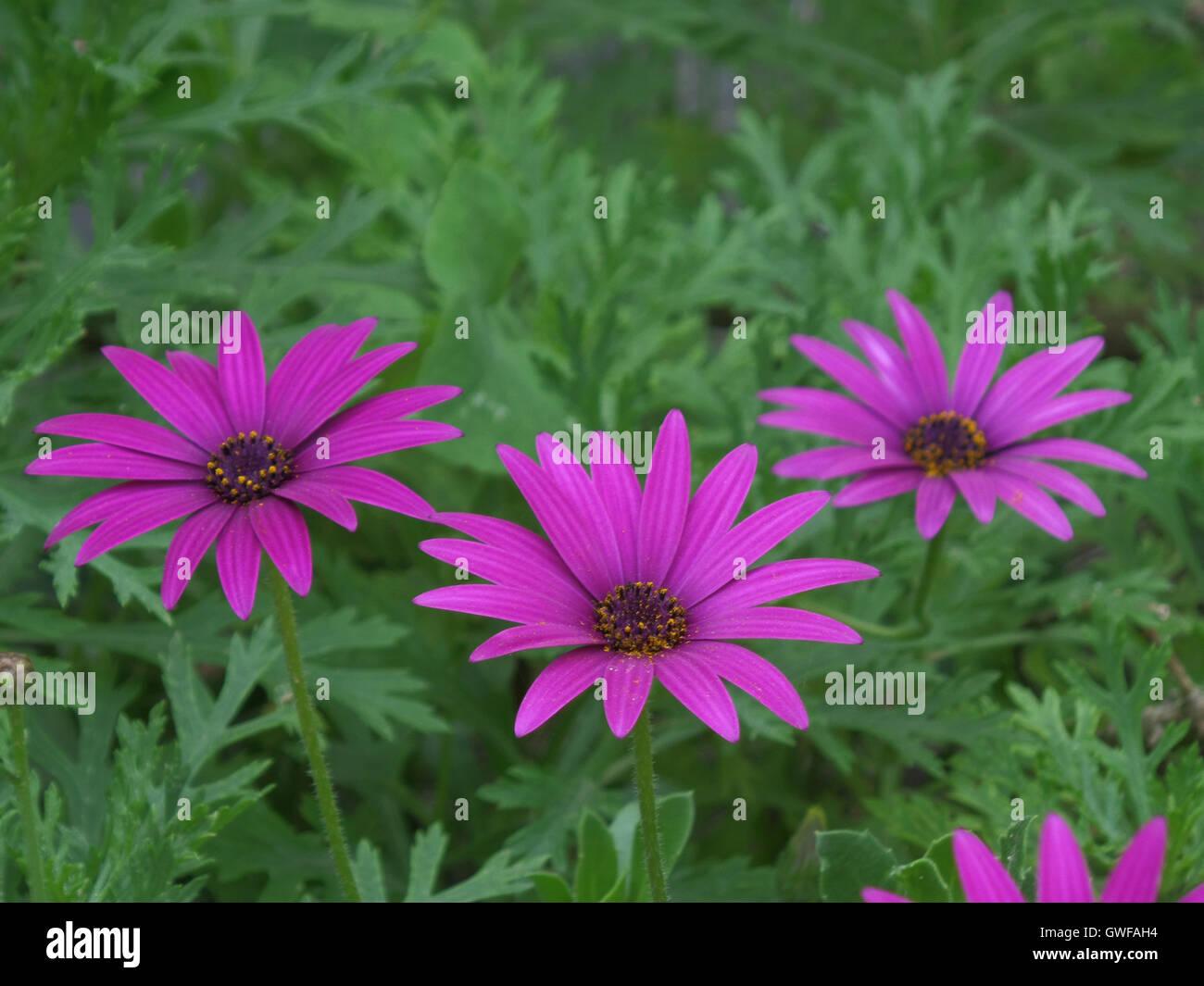 Shocking Pink Purple Stock Photos Shocking Pink Purple Stock
