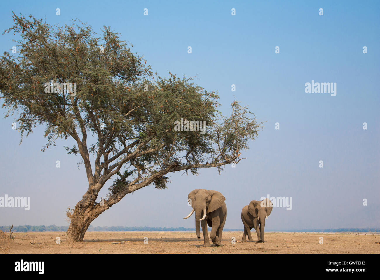 Two African Elephant bulls (Loxodonta africana) walk past an Ana Tree (Faidherbia albida) across the dry plain by - Stock Image