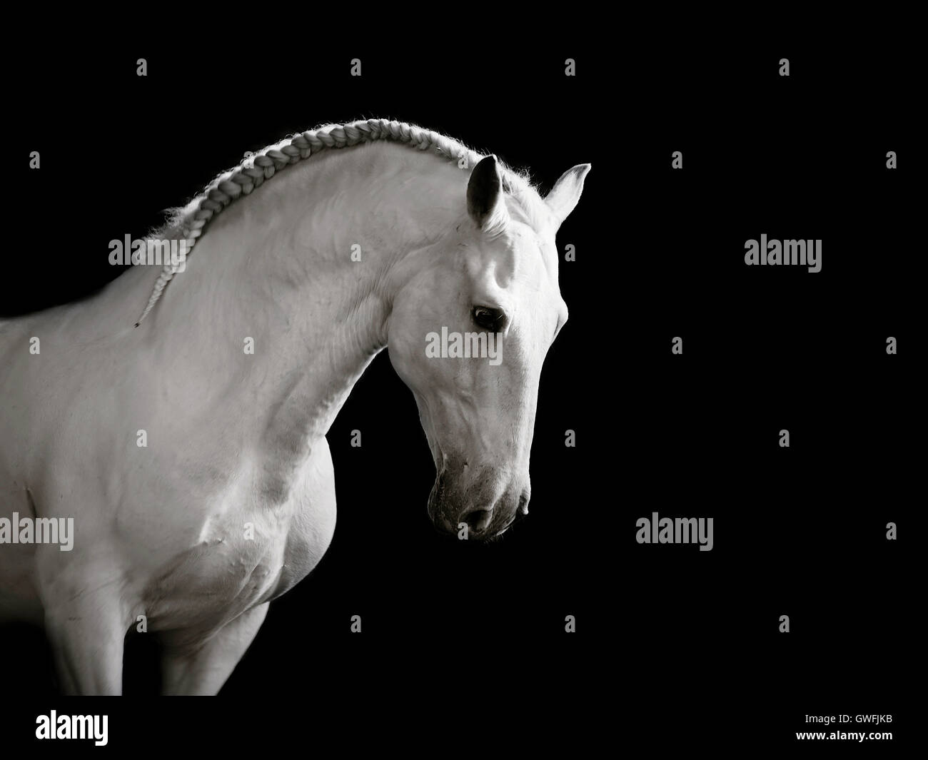 White Lusitano stallion cantering gracefully, head bowed - Stock Image