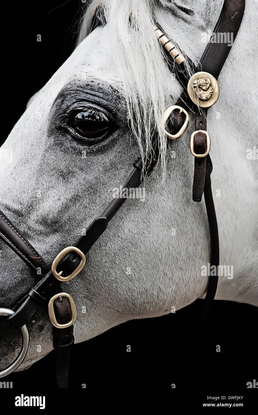 Close-up profile of a white Australian Pony stallion - Stock Image