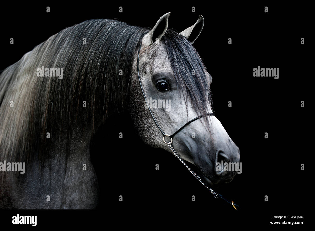 Portrait of a young dark grey Arabian stallion - Stock Image