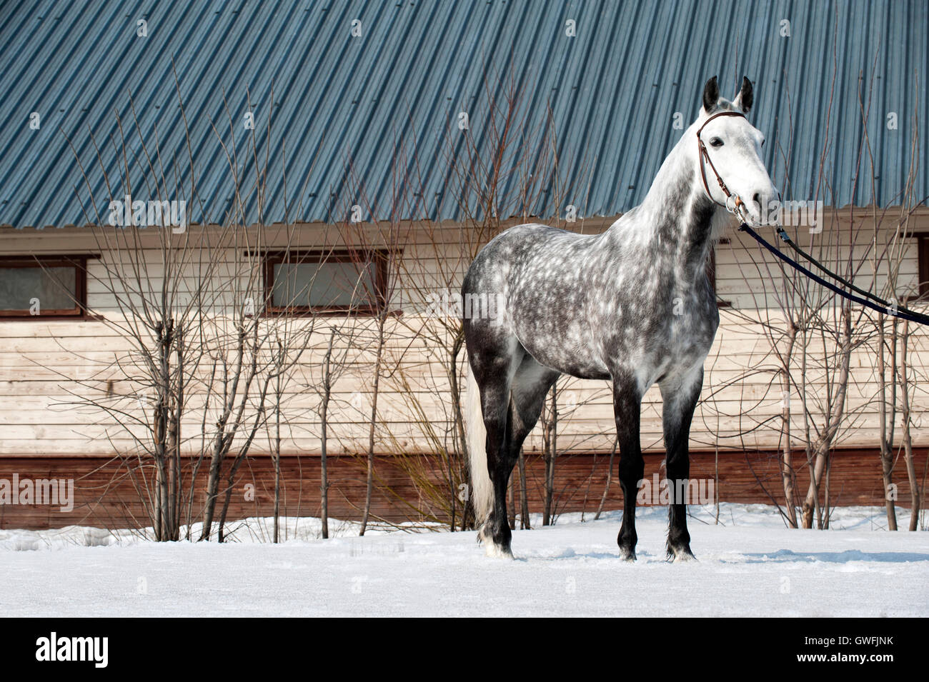 Dapple-grey Orlov Trotter stands with bridle in the snow - Stock Image
