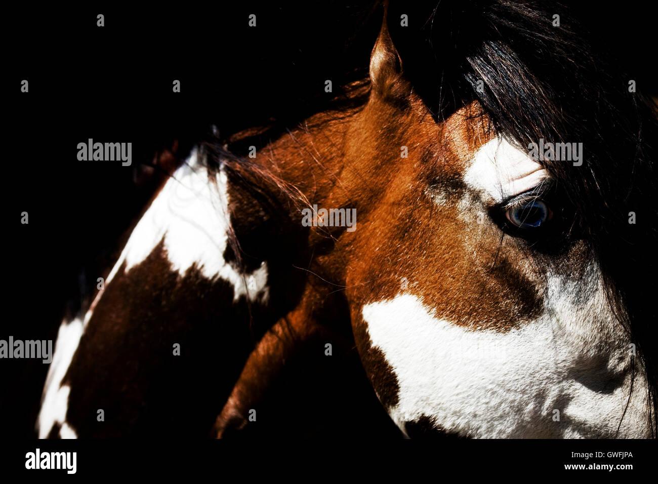 Paint mustang stallion portrait - Stock Image