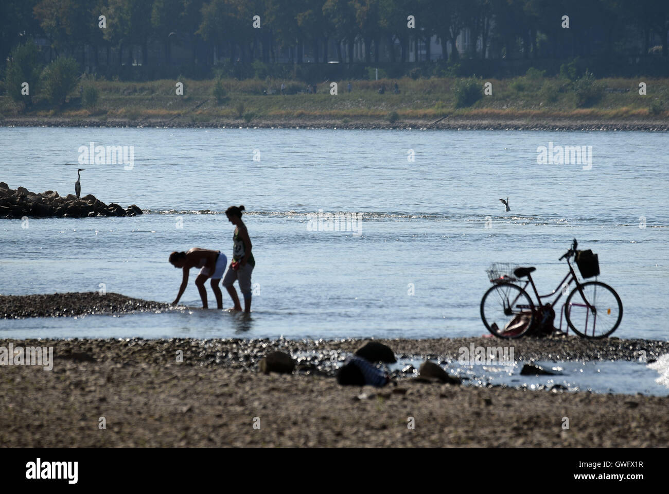 Cologne, Germany. 13th Sep, 2016. People strolling along the river bank of the Rhine, looking for seashells in Cologne, - Stock Image