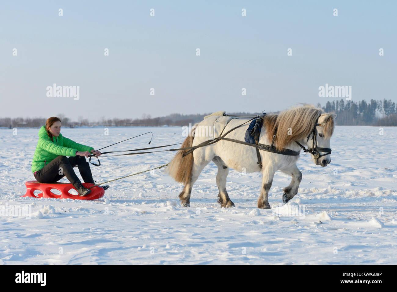 shetland pony pulling a sleigh germany stock photo 118988710 alamy