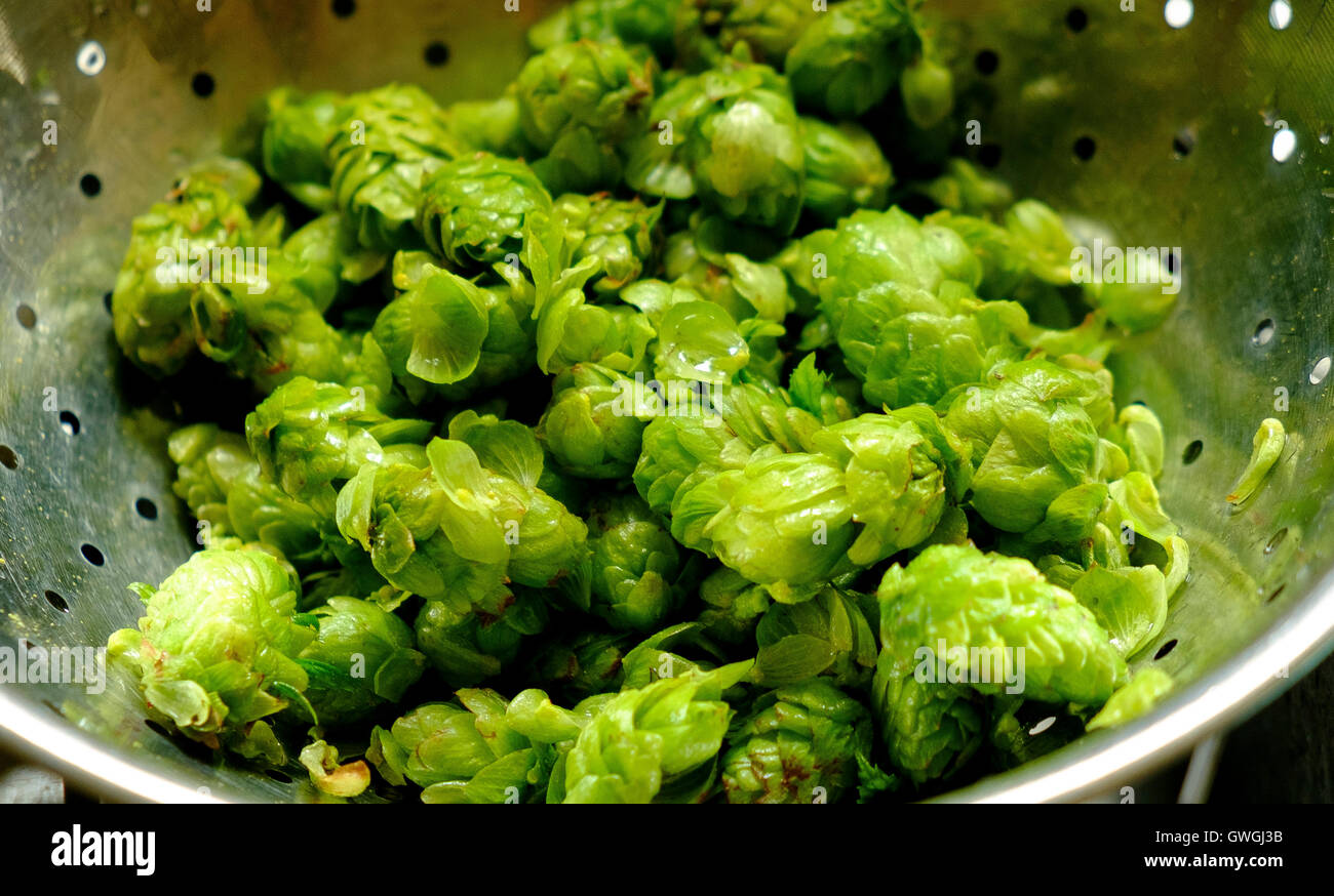 Fuggles hops fresh from the garden having been washed in a colander - Stock Image