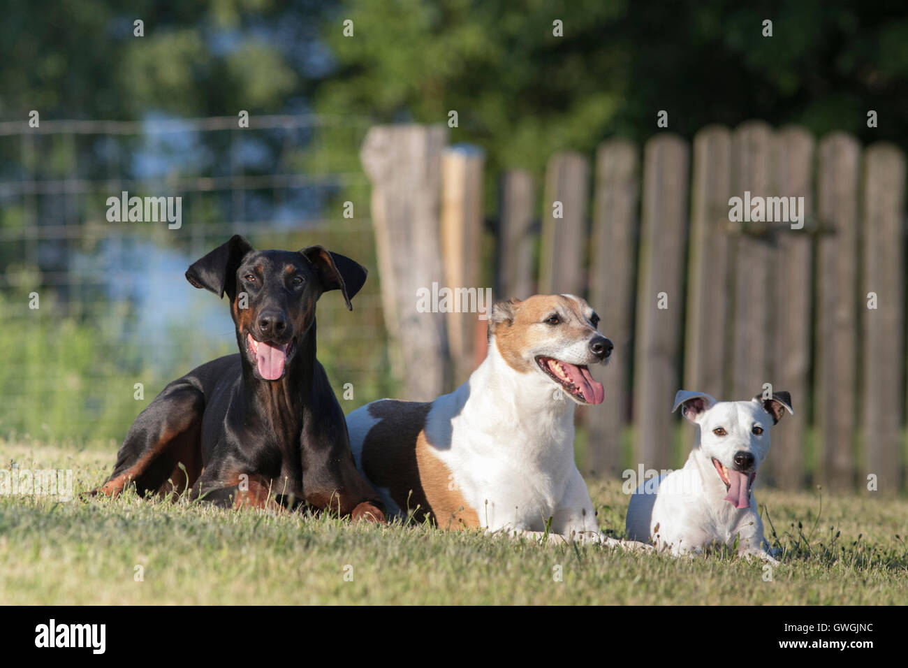 Dobermann, mixed-breed dog (Greyhound x ?) and Jack Russell Terrier. Three adult males lying on a lawn. Germany - Stock Image