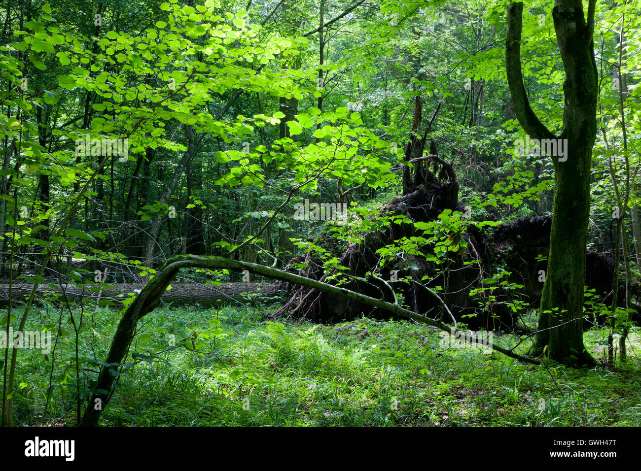 Shady deciduous stand in summer noon with broken tree,Bialowieza Forest,Poland,Europe - Stock Image